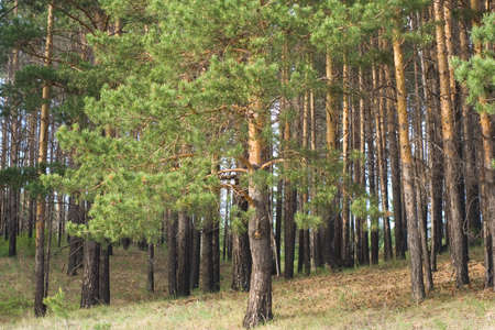 pinaceae: Summer pine forest Stock Photo