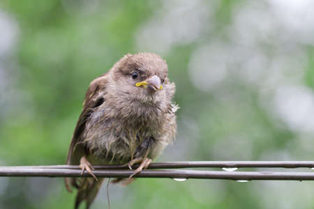 strained: Sparrow fledgeling sitting on strained steel wire