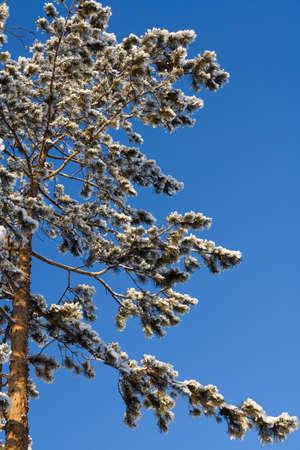 Winter pine tree on clear sky