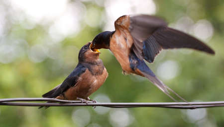 Swallow - mother, feeding the baby bird on fly