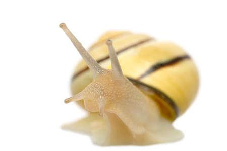 macro of stripy snail