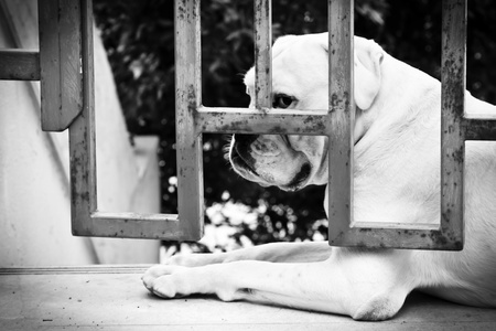 Sad Dog is Sitting Behind Iron Gate photo