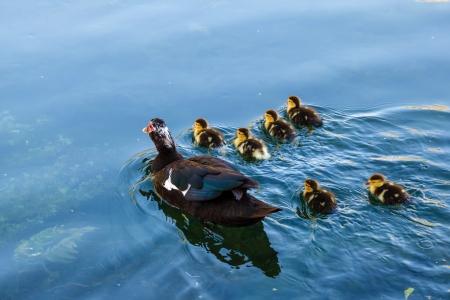 Duck and Baby Ducklings in the Water, Split, Croatia