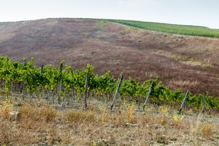 Beautiful Rows of Brunello Grapes in a Vineyard in Montalcino, Tuscany, Italy photo