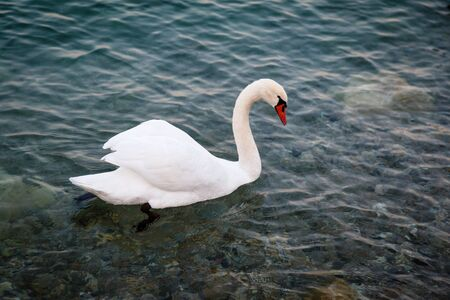 Beautiful Swan Gliding on Transparent Water Surface of Garda Lake, Sirmione, Italy photo