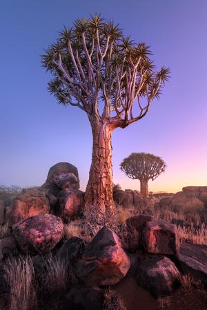 明け方、Keetmanshoop、ナミビア砂漠の岩で身が震える木