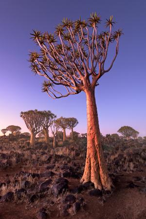 夕暮れ時、Keetmanshoop、ナミビア砂漠の岩で身が震える木