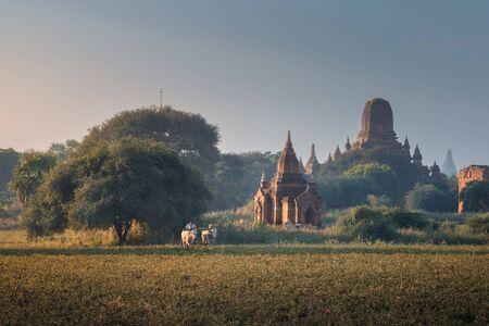 Bagan, Myanmar - November 18, 2018: Burmese Peasant Working in Field near Ancient Temples in the Morning
