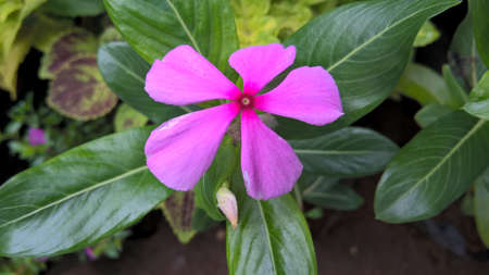 catharanthus flowers also called as periwinkle or sadabahar flower plant