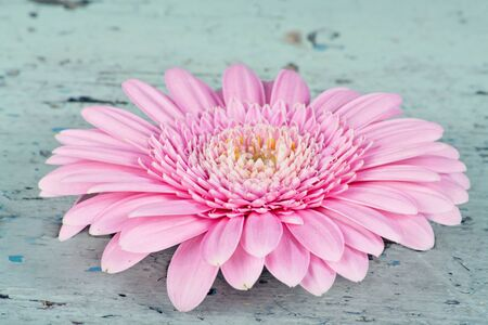 Pink daisy on a rustic light blue wooden background photo