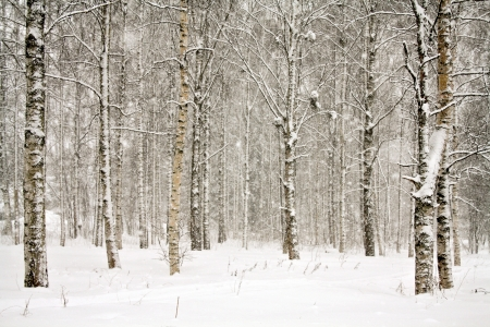 Snowy landscape with birch trees photo