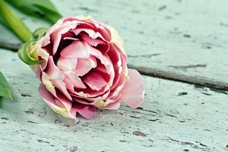 Rosa Französisch Tulpen auf einem hellblauen Shabby Chic Holzuntergrund Standard-Bild - 13613573