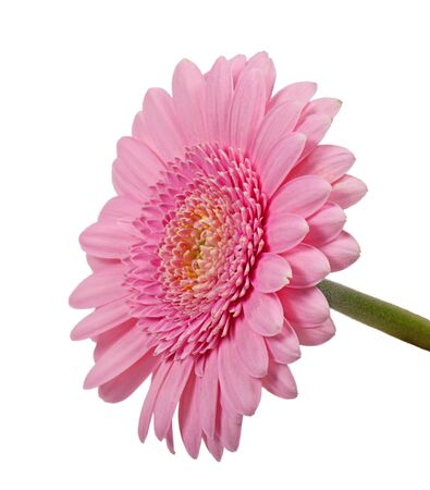 closeup of pink daisy with: Pink daisy isolated on white background