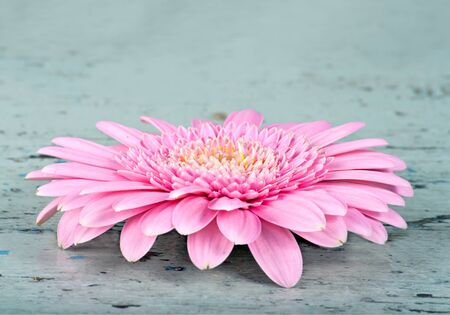 Pink daisy on a rustic light blue wooden surface photo
