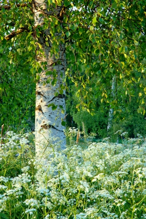 Birch tree in the summer with white wildflowers photo