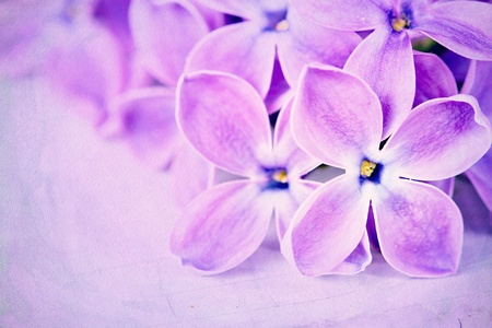 Closeup of lilac petals on a purple textured background photo