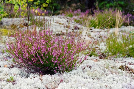 Closeup of purple colored heather and grey lichen in nature