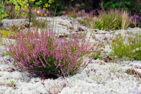 Closeup von lila farbigen Heidekraut und grauen Flechten in der Natur