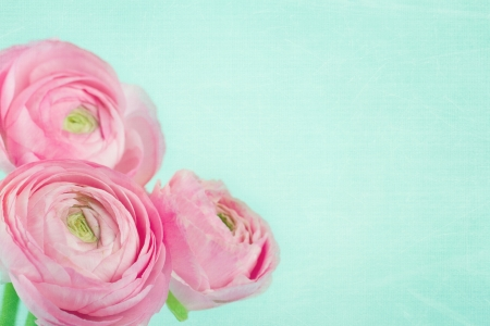 Bouquet of pink ranunculus on shabby chic light blue background Stock Photo