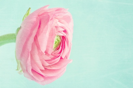 Single pink ranunculus on shabby chic light blue background Stock Photo - 17974765