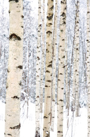 winter finland: Closeup of birch trees in a snowy forest in winter Stock Photo