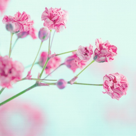 Pink babys breath flowers on light blue pastel shabby chic textured background, soft and delicate floral pattern