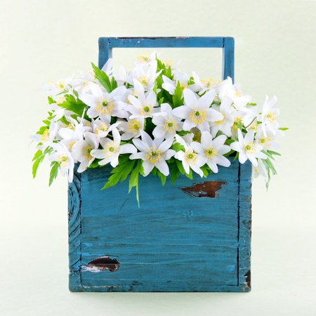 Wood anemone spring wild flowers in a blue wooden basket on light green background photo