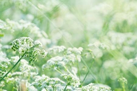 日光と浅いフォーカスを持つ緑豊かな緑の夏の牧草地で白い野生のニンジンの花 (レース クイーン アンズ)