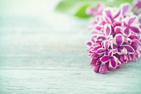 purple lilac: Branch of purple lilac spring flowers on vintage blue wooden textured background Stock Photo