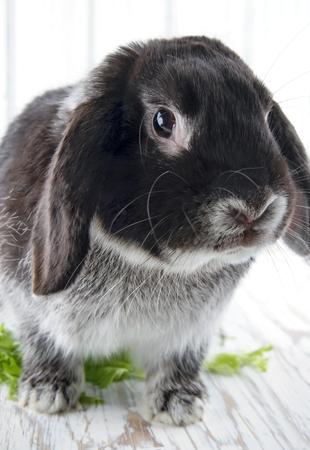 lop lop rabbit white: Cute soft black lop bunny rabbit on white wooden studio background Stock Photo