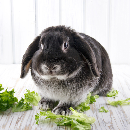 lop: Cute soft black lop bunny rabbit on white wooden studio background with green lettuce