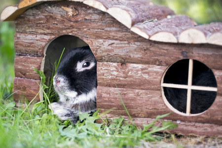 lop: Black bunny rabbit lying on summer grass in a wooden pet hutch