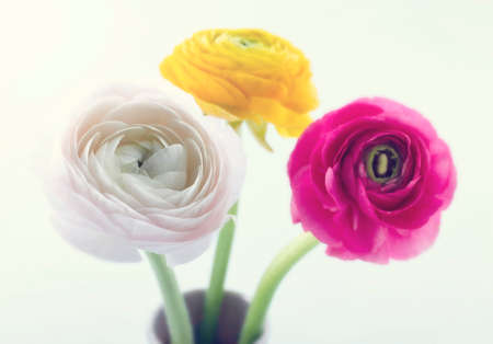 Colorful ranunculus flowers on soft pastel background and vintage editing photo