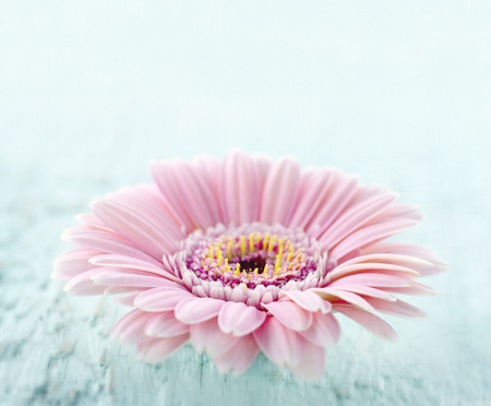 Pink daisy on light blue wooden background with vintage textured editing Standard-Bild
