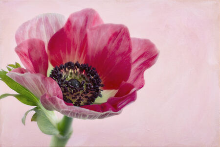Closeup of anemone flower with background of artistic painted texture Zdjęcie Seryjne