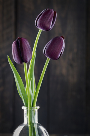 dark purple tulips on a black background stock photo picture and