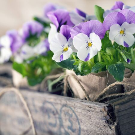 violets: Purple spring violets in a wooden flower box for planting and gardening Stock Photo