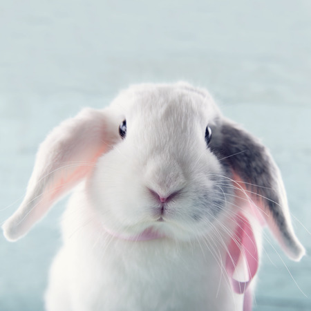 lop lop rabbit white: White soft bunny rabbit with pink ribbon and light blue background