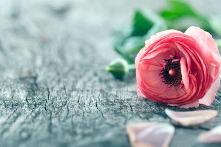 Single red ranunculus flower on vintage wooden background