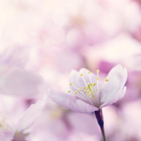 Closeup of pink cherry tree flowers Banco de Imagens