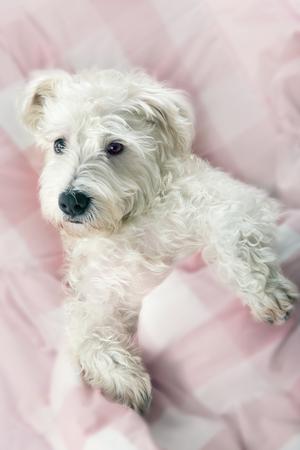 Terriër hond slaapt in een bed met roze lakens en zachte wazige editing Stockfoto