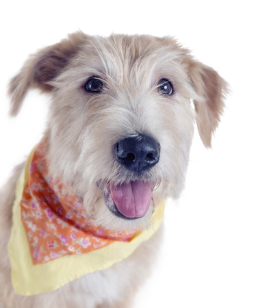 Glen of Imaal Terrier with a scarf on white isolated background