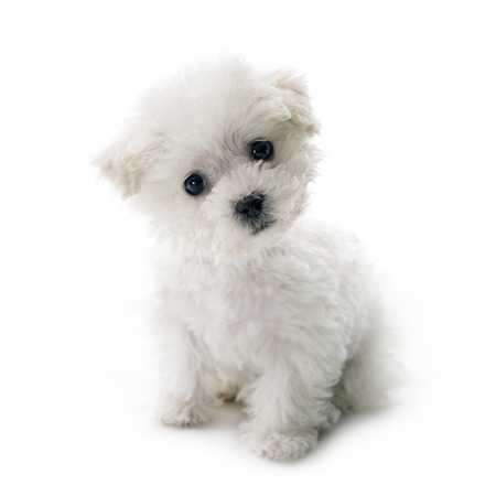 Cute small Bichon Frise puppy at 9 weeks old sitting on white isolated background Stock Photo