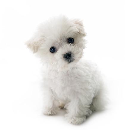 Leuke kleine Bichon Frise puppy bij 9 weken oud zittend op witte geïsoleerde achtergrond Stockfoto