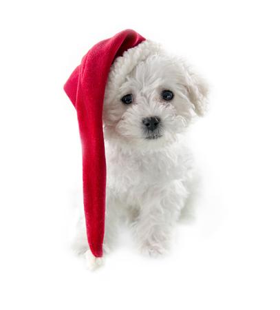 Kleine schattige Bichon Frise puppy met een lange rode Kerstman hoed op geïsoleerde witte achtergrond
