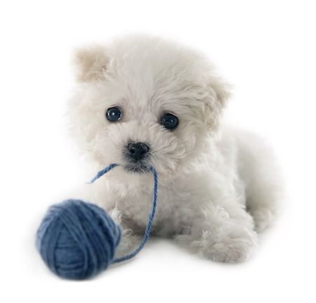 Cute small Bichon Frise puppy at 9 weeks old on white isolated background