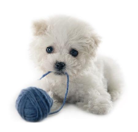 Leuke kleine Bichon Frise puppy bij 9 weken oud op witte achtergrond geïsoleerd