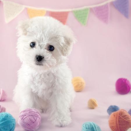 Leuke kleine Bichon Frise puppy bij 9 weken oude zitting op roze kleurrijke achtergrond