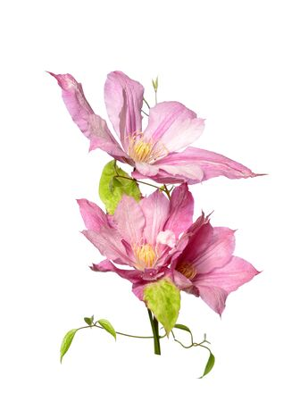 Pink clematis flowers isolated on white Stock Photo