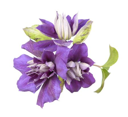 Three purple clematis flowers isolate on white Banque d'images